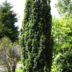 Vrtnarstvo Breskvar - Taxus Baccata Fastigiata