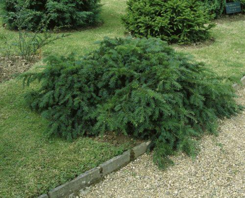 Vrtnarstvo Breskvar - Taxus baccata Repandens