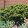 Vrtnarstvo Breskvar - Taxus cuspidata Nana