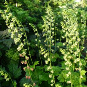 Vrtnarstvo Breskvar - Tellima grandiflora