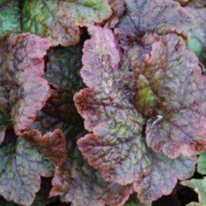 Vrtnarstvo Breskvar - Tellima grandiflora Purpurteppich