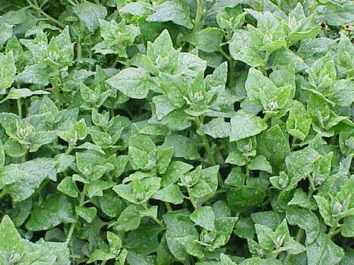 Vrtnarstvo Breskvar - Tetragonia tetragonioides New Zealand