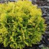 Vrtnarstvo Breskvar - Thuja occidentalis Amber Glow