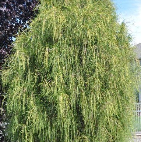Vrtnarstvo Breskvar - Thuja occidentalis Filiformis
