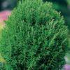 Vrtnarstvo Breskvar - Thuja occidentalis Teddy