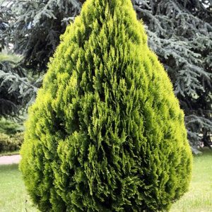 Vrtnarstvo Breskvar - Thuja Orientalis Aurea Nana