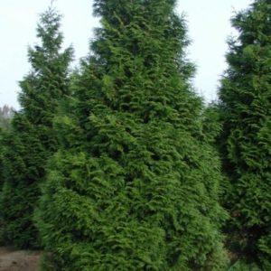 Vrtnarstvo Breskvar - Thuja plicata Atrovirens