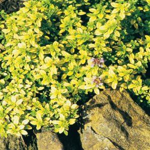 Vrtnarstvo Breskvar - Thymus Serpyllum Golden