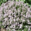 Vrtnarstvo Breskvar - Thymus Vulgare Fragrantissimus