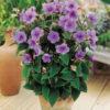 Vrtnarstvo Breskvar - Tibouchina urvilleana