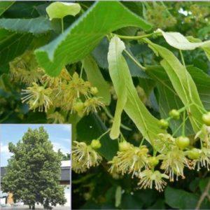 Vrtnarstvo Breskvar - Tilia platyphyllos