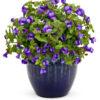 Vrtnarstvo Breskvar - Torenia