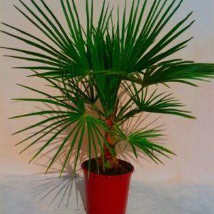 Vrtnarstvo Breskvar - Trachycarpus fortunei