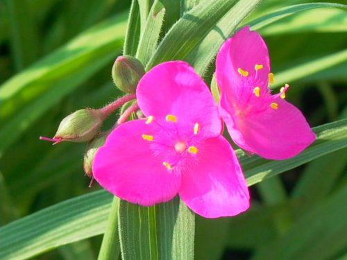 Vrtnarstvo Breskvar - Tradescantia andersoniana Karminglut