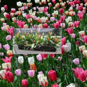 Vrtnarstvo Breskvar - Tulipa