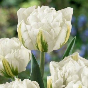 Vrtnarstvo Breskvar - Tulipa Global Desire