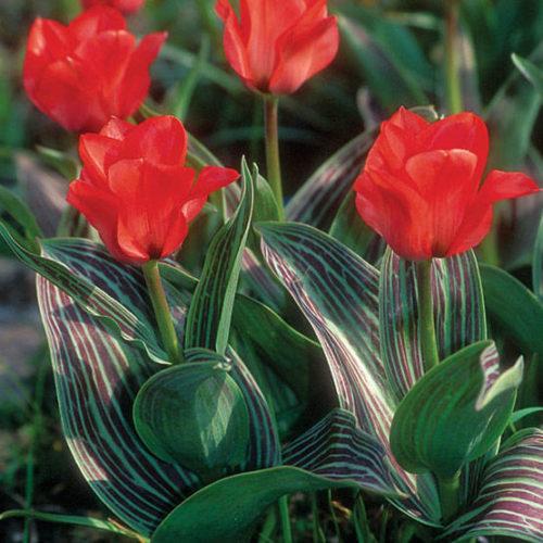 Vrtnarstvo Breskvar - Tulipa greigii