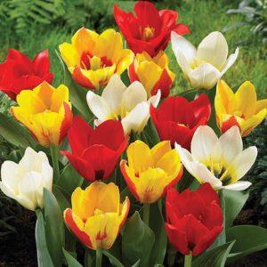 Vrtnarstvo Breskvar - Tulipa kaufmanniana