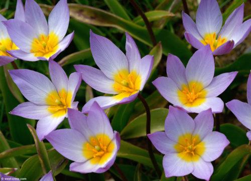 Vrtnarstvo Breskvar - Tulipa Saxatilis Lilac Wonder