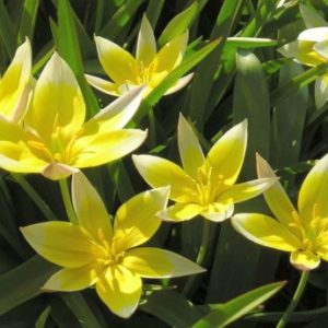 Vrtnarstvo Breskvar - Tulipa tarda