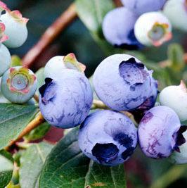 Vrtnarstvo Breskvar - Vaccinium corymbosum Duke