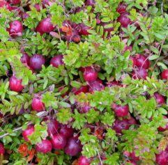 Vrtnarstvo Breskvar - Vaccinium macrocarpon