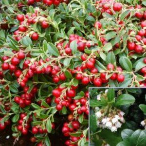 Vrtnarstvo Breskvar - Vaccinium vitis-idaea Koralle