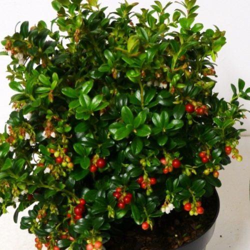 Vrtnarstvo Breskvar - Vaccinium vitis-idaea Miss Cherry
