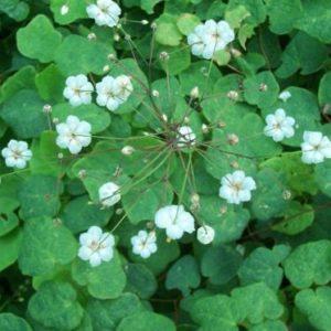 Vrtnarstvo Breskvar - Vancouveria hexandra