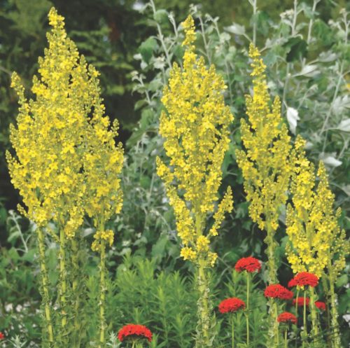 Vrtnarstvo Breskvar - Verbascum olympicum