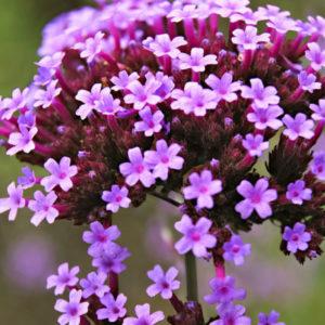 Vrtnarstvo Breskvar - Verbena bonariensis