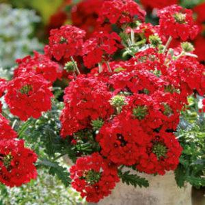 Vrtnarstvo Breskvar - Verbena Vepita Fire Red