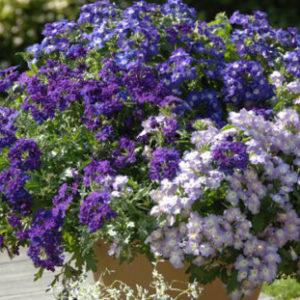 Vrtnarstvo Breskvar - Verbena Vepita Pearl Blue