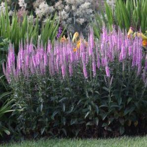 Vrtnarstvo Breskvar - Veronica longifolia Pink Damask