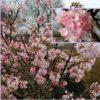 Vrtnarstvo Breskvar - Viburnum bodnantense Charles Lamont