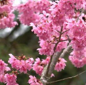 Vrtnarstvo Breskvar - Viburnum bodnantense Dawn