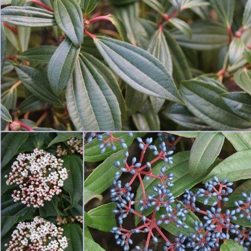 Vrtnarstvo Breskvar - Viburnum dawidii