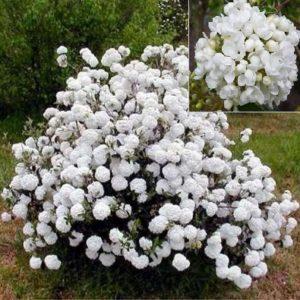 Vrtnarstvo Breskvar - Viburnum Eskimo