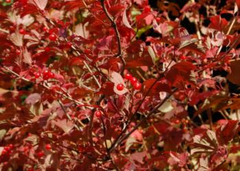 Viburnum opulus - Vrtnarstvo Breskvar