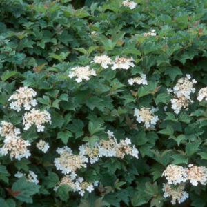 Vrtnarstvo Breskvar - Viburnum opulus Nanum
