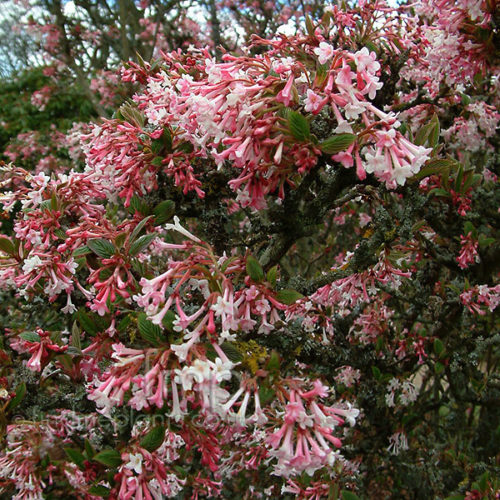 Vrtnarstvo Breskvar - Viburnum plicatum Grandiflorum