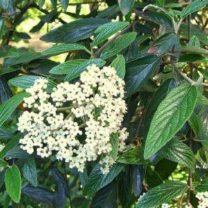 Vrtnarstvo Breskvar - Viburnum plicatum Pragense