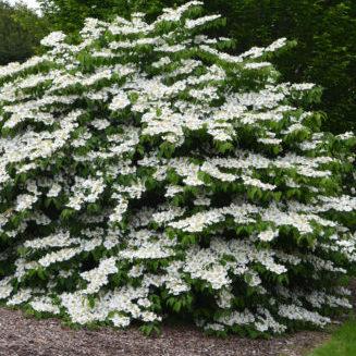 Vrtnarstvo Breskvar - Viburnum plicatum Tomentosum