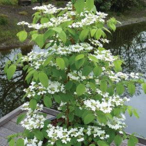 Vrtnarstvo Breskvar - Viburnum plicatum tomentosum Kilimanjaro