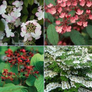 Vrtnarstvo Breskvar - Viburnum Plicatum Tomentosum Pink Beauty