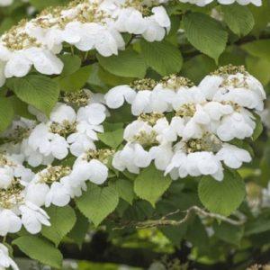 Vrtnarstvo Breskvar - Viburnum plicatum Watanabe