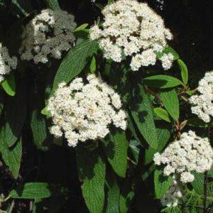 Vrtnarstvo Breskvar - Viburnum Rhytidophyllum