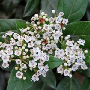 Vrtnarstvo Breskvar - Viburnum tinus