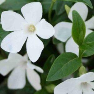 Vrtnarstvo Breskvar - Vinca Minor Alba