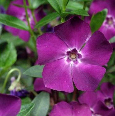 Vrtnarstvo Breskvar - Vinca minor Atropurpurea